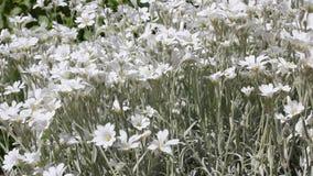 De witte slingering van de zomerbloemen in wind stock footage