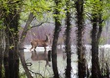 De witte Staartherten wandelen zorgvuldig door Ruwe Overstromende Voorwaarden Stock Afbeeldingen