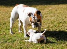 De witte stokvoering van het puppyspel met een buldog royalty-vrije stock foto