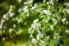 De witte tak van de appelboom in bloei Royalty-vrije Stock Afbeeldingen