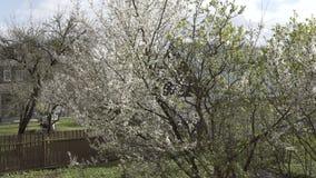 De witte tak van de de lenteboom, boom, mooie bloem, wit, aard, installatie, kers, bloesem, achtergrond, bloemen stock footage