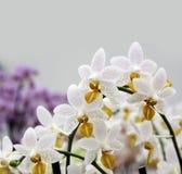 De witte tak van orchideebloemen royalty-vrije stock fotografie