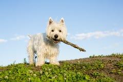 De witte terriër van het het westenhoogland zeer knap Royalty-vrije Stock Fotografie
