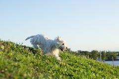 De witte terriër van het het westenhoogland zeer knap Stock Afbeelding