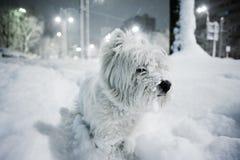 De Witte Terriër van het westen Royalty-vrije Stock Afbeeldingen