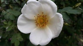 De witte thee nam bloem toe royalty-vrije stock foto's
