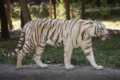 De witte tijger Stock Foto's