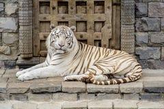 De witte tijger die van Bengalen de camera bekijken stock afbeeldingen