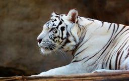 De witte Tijger van Bengalen Royalty-vrije Stock Afbeelding