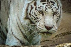 De witte tijger van Bengalen na een heerlijke lunch royalty-vrije stock afbeeldingen