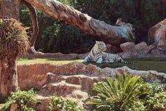 De witte tijger van Bengalen zit in de schaduw op het park in de nationale dierentuin, die op een hete de zomerdag rusten Royalty-vrije Stock Afbeeldingen
