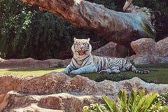 De witte tijger van Bengalen zit in de schaduw op het park in de nationale dierentuin, die op een hete de zomerdag rusten Stock Fotografie