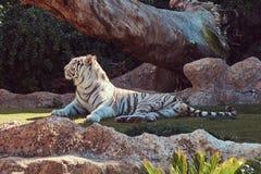 De witte tijger van Bengalen zit in de schaduw op het park in de nationale dierentuin, die op een hete de zomerdag rusten Royalty-vrije Stock Fotografie