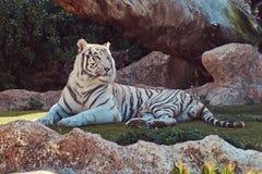 De witte tijger van Bengalen zit in de schaduw op het park in de nationale dierentuin, die op een hete de zomerdag rusten Stock Foto