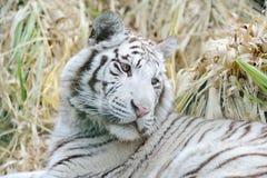 De witte tijger ziet terug eruit stock afbeeldingen