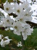 De witte tot bloei komende boom van de vogelkers in de lente Royalty-vrije Stock Afbeeldingen