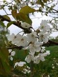 De witte tot bloei komende boom van de vogelkers in de lente Stock Afbeelding