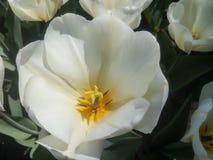 De witte tulp sluit mening Stock Foto