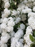 De witte uiterst kleine leuke bloemen met groen doorbladert Royalty-vrije Stock Afbeelding