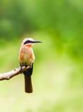 De witte uitgezien die vogel van de bijeneter op een tak wordt neergestreken Royalty-vrije Stock Foto's