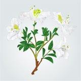 De witte uitstekende vector van de rododendrontak Royalty-vrije Stock Afbeeldingen
