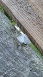 De witte van de mottenmichigan van de motten Virginian tijger identificatie van de het insect houten wetenschap stock fotografie