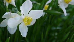 De witte van de lentenarcissen videohd lengte die van de de bloeminstallatie statische camera schieten stock footage