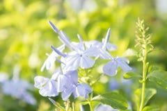 De witte violette bloemen in de tuin, kaap leadwort, wit grafiet bloeit Royalty-vrije Stock Fotografie
