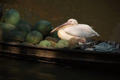 De witte vlek-gefactureerde zitting van de pelikaanvogel op de vruchten boot in het kanaal stock fotografie