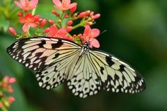 De witte vlinder van de boomnimf Stock Foto's