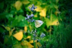 De witte vlinder van de tuin op een bloem Stock Foto