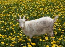 De witte vrij jonge geit is geweid op de tot bloei komende weide royalty-vrije stock foto