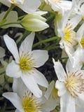 De witte vrij kleine sierlijke rotsrozen namen mauve lilac wilde de weidebloemen van bloeminstallaties toe stock foto's