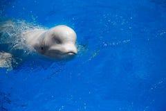 De witte walvis van de beloegawalvis Stock Fotografie
