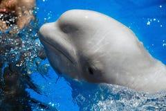 De witte walvis van de beloegawalvis Stock Afbeeldingen