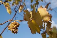 De witte wijndruiven rijpen op wijnstok Stock Afbeelding