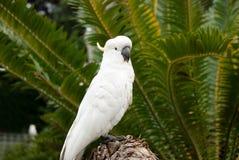 De witte wilde vogel van de Kaketoe in wildernis royalty-vrije stock foto's