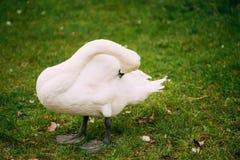 De witte Wilde Vogelzwaan maakt Zijn Veren schoon terwijl Status op Groen royalty-vrije stock foto
