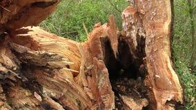 De witte wilg alba Salix aangevallen door insecten, aangevallen houtworm van de boomboomstam de zeer door larven, boom houten-te  stock videobeelden