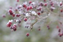 De witte Winter - de bevroren lijsterbes van de fruitboom Royalty-vrije Stock Afbeeldingen