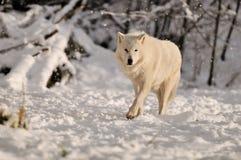 De witte wolf van het Hout in sneeuw stock foto