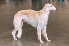 De witte Wolfshond van de Hond Russische Barzoi op Vloer royalty-vrije stock fotografie