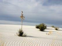 De witte Yucca van het Zand Stock Afbeeldingen