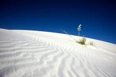 De witte Yucca van het Zand Royalty-vrije Stock Foto's