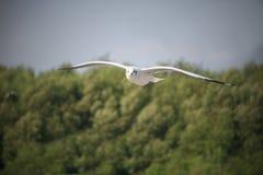 De witte zeemeeuw die laag vliegen stock fotografie
