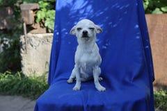De witte zitting van de chihuahuahond op een blauwe doek stock afbeeldingen