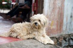 De witte zitting van de haarhond buiten ingangsdeuropening in middag het ontspannen royalty-vrije stock foto's