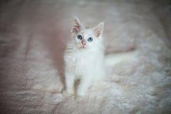 De witte zitting van katjesmaine coon Stock Afbeeldingen