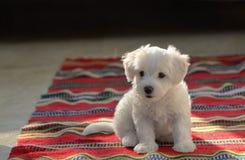De witte zitting van de puppy Maltese hond op tapijt stock foto