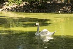 De witte zwaan drijft in de vijver, zoölogische tuin van de Nationale Reserve askania-Nova, de Oekraïne Stock Afbeeldingen